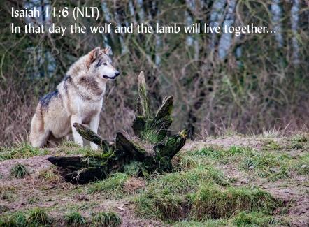 Wolf lamb 012whipsnade1212
