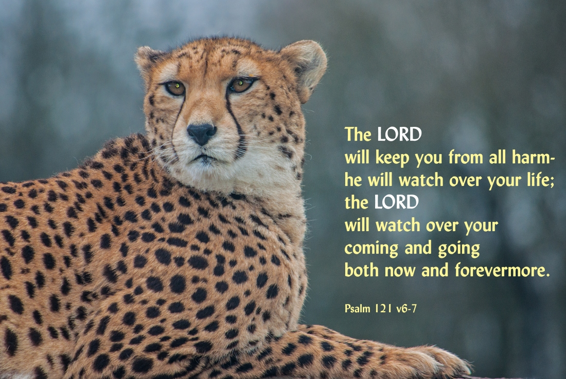 psalm 121 v6-7 Cheetah 064whipsnade1212 edited crop2