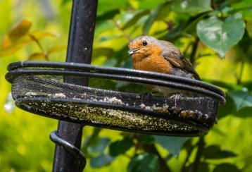 Robin crop 3 024Garden 040518