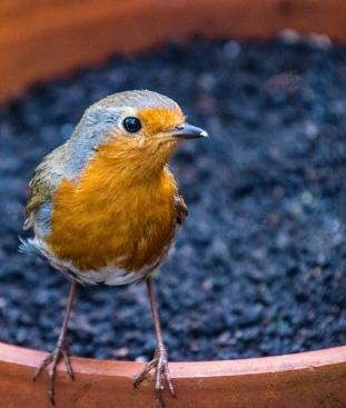 Robin crop1 002Garden 040518