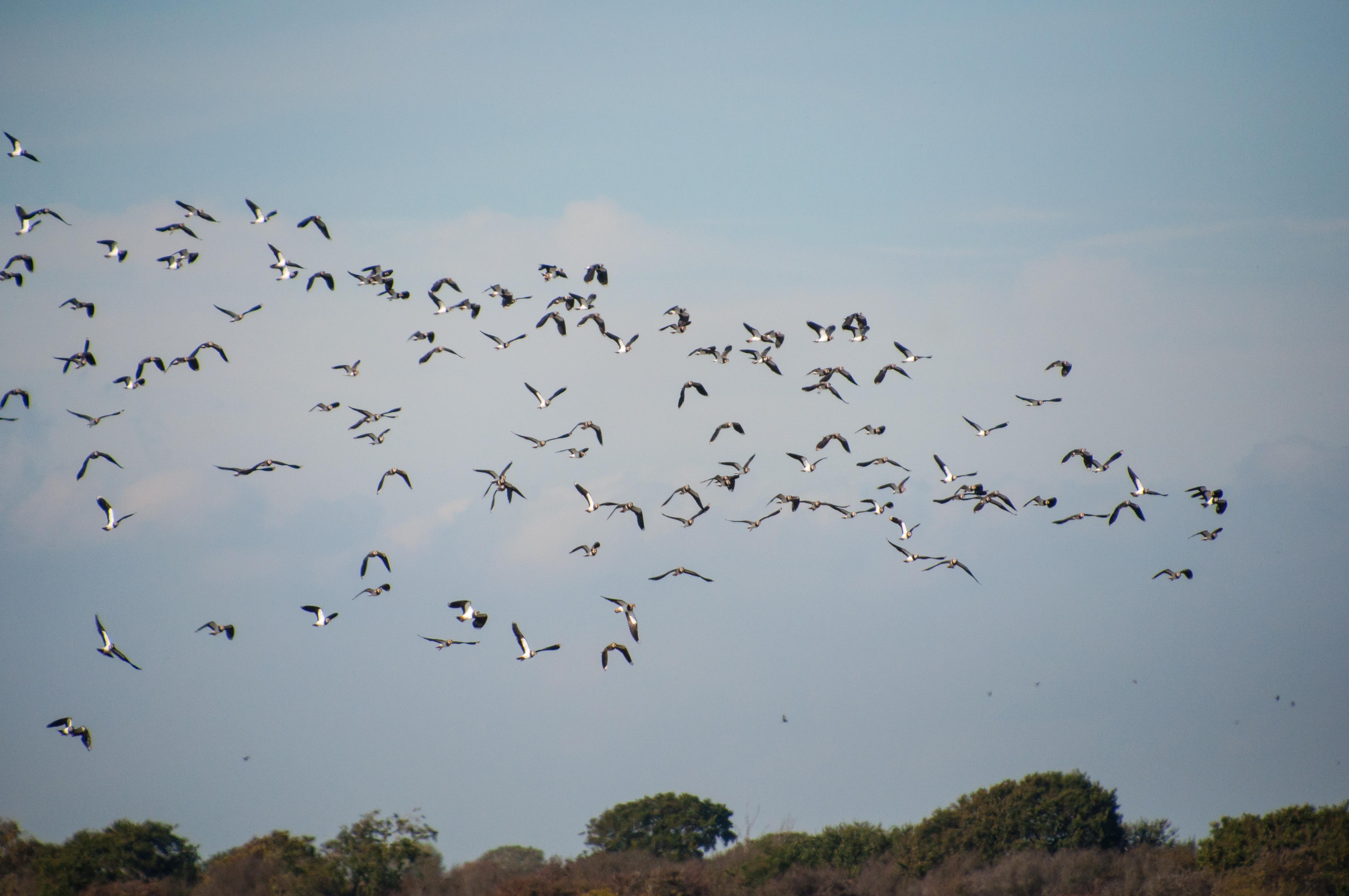 038pagham birds lapwing