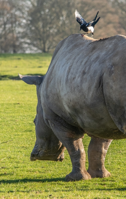rhino magpie 006Frost Zoo1116crop3