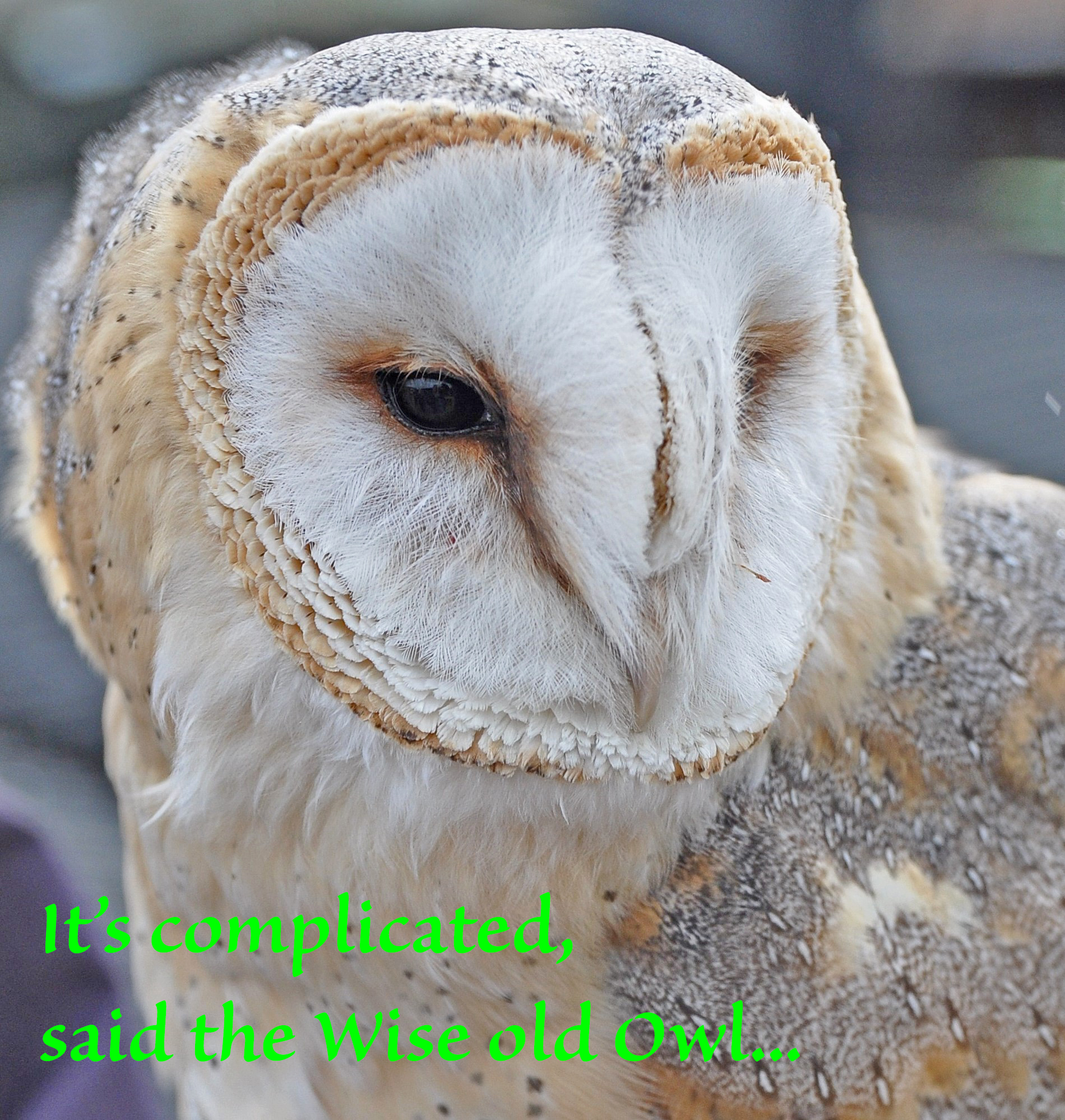 wise old owl 0190Falconry2014_cropowl